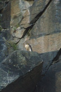 A femal peregrine at the base of Sign Route. Photo MatthewOlear@msn.com